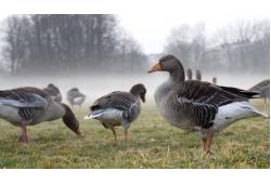 Охота на гуся - советы, обсуждения, ответы на вопросы